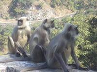 Affen im Aravalli-Gebirge