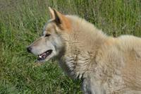 Grönländer Schlittenhund