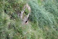 Fotostopp an einem Vogelfelsen, um Möwen und Papagaien-Vögel zu beobachten