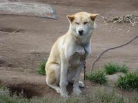 Schlittenhund in Grönland