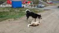 Huskies in Tasiilaq