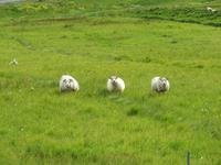 1035 Island - Südküste - die isländischen Schafe