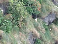 1045 Island - Südküste - Küste Dyrholaey - Papageientaucher