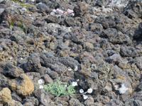 311 Island - Fahrt nach Akureyri - Aufstieg zum Krater Grabrok - Lavagestein