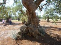 07.09.2013 Alter Olivenbaum bei Ostuni