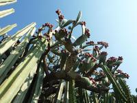 Leider kein Herankommen an die reifen Früchte dieses Kaktus.