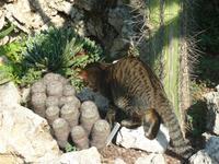 Allerdings schien die Eidechse schon geübt im Umgang mit Jägern zu sein, und verkrümelte sich unter den kleinen Kaktus. Ja, kleine Miezekatze, auch dieser Kaktus hat Stacheln.