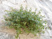 Kapern wachsen aus Mauerritzen