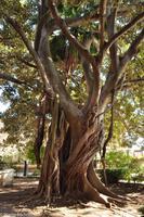 Insel Ortygia (Syrakus) - Gummibaum