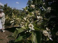 Citrus-Plantage