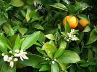 Zitronenplantage Limone