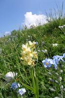 Monte Baldo - Orchidee