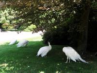 Isola Madre - auch hier gibt es weiße Pfauen ...