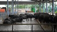 Büffelfarm
