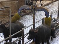 Büffelfarm Vanullo