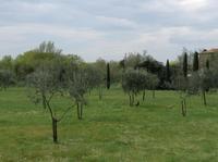 Olivenbäume auf Torcello