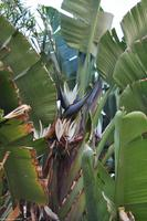 Baum-Strelitzie (Strelitzia nicolai)