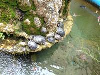 Schildkröten in Amalfi