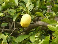 Zitronen im September in Amalfi