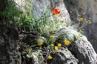Feuerlilie und Arnika