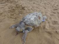 Italien, Santa Maria di Castellabate, tote Wasserschildkröte