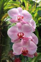 Orchideen im Victoria House