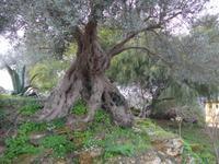 Sizilien, Agrigent, Tal der Tempel,  Olivenbaum