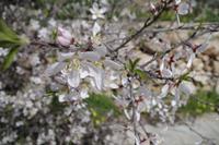 Frühling in Ajlun - Mandelblüte in Jordanien