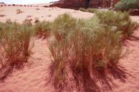 Ginster in der Wüste