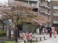 Tokyo - Kirschblüte