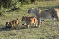 Masai Mara Löwen
