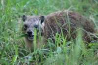 Nakuru Nationalpark - Klippschliefer