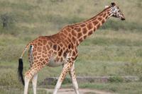 Nakuru Nationalpark - Rothschildgiraffe