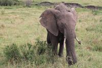 Masai Mara - Elefantendame in der Musth