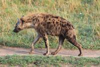 Masai Mara - Tüpfelhyäne