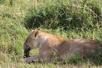 Masai Mara - Löwin mit Frühstück