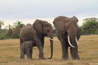Amboseli Nationalpark - Elefanten - Junges beim Säugen