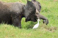 Amboseli Nationalpark - Elefant im Sumpf