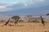 Amboseli Nationalpark - Giraffen-Parade