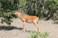 Impalabock