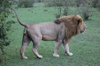 Löwenonkel