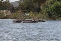 Hippos im Lake Naivasha