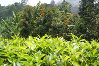 Afrikanischer Tulpenbaum im Hochland