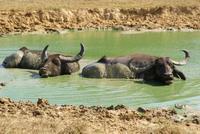 Büffel im Yala Park
