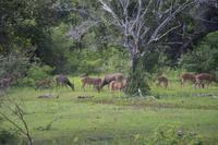 343 Rehe und Hirsche im Yala Nationalpark