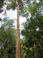 0394 Kandy - Botanischer Garten -