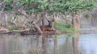 0757 Im Yala-Nationalpark - Hirsch