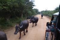 Yala NP: Wasserbüffel