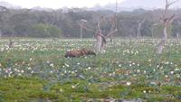 Elefant im Yala NP