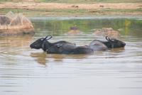 Wasserbüffel machen ihrem Namen alle Ehre!